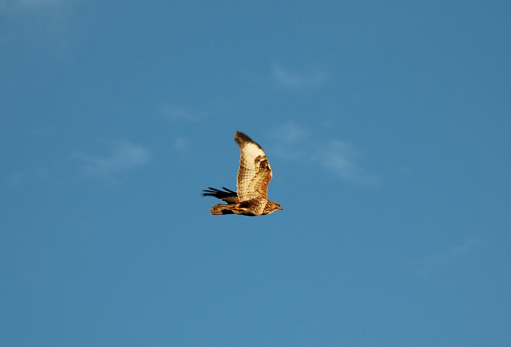 Picture of a Buzzard in flight under a blue sky