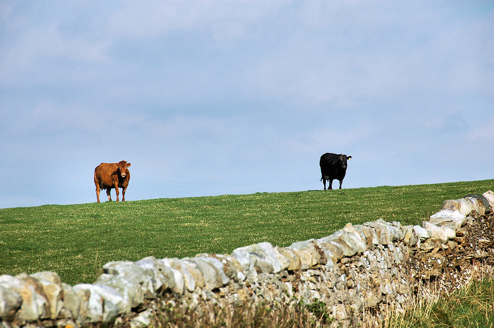 Picture of two cows standing on the crest of a hill, one brown, one black