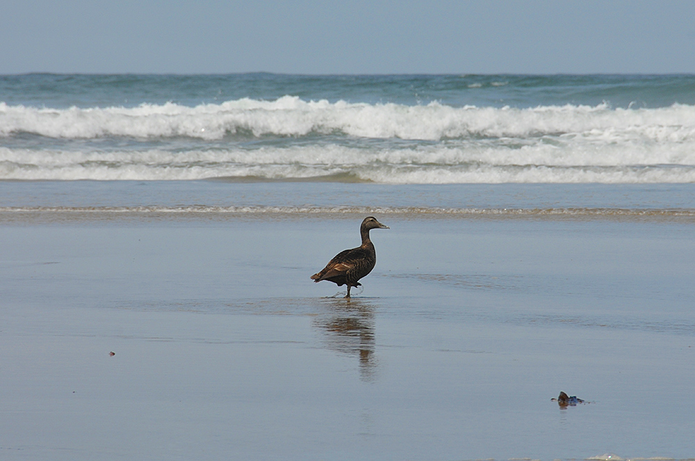Picture of a duck walking on a beach, waves in the background