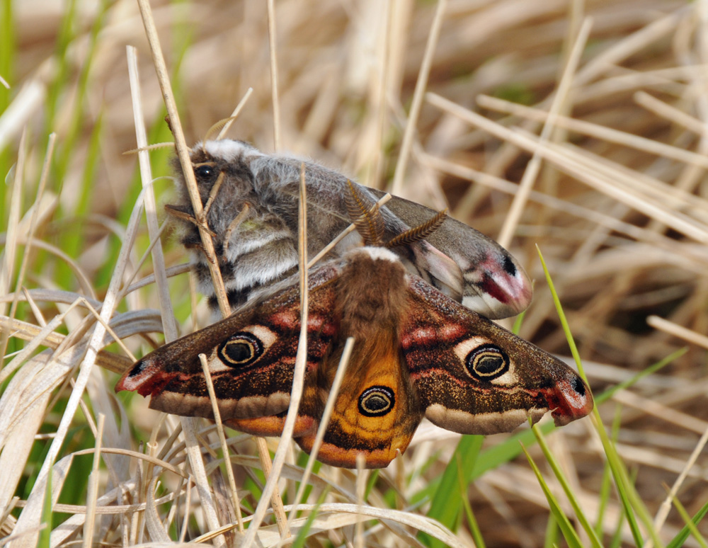 Picture of two Emperor Moths in high grass