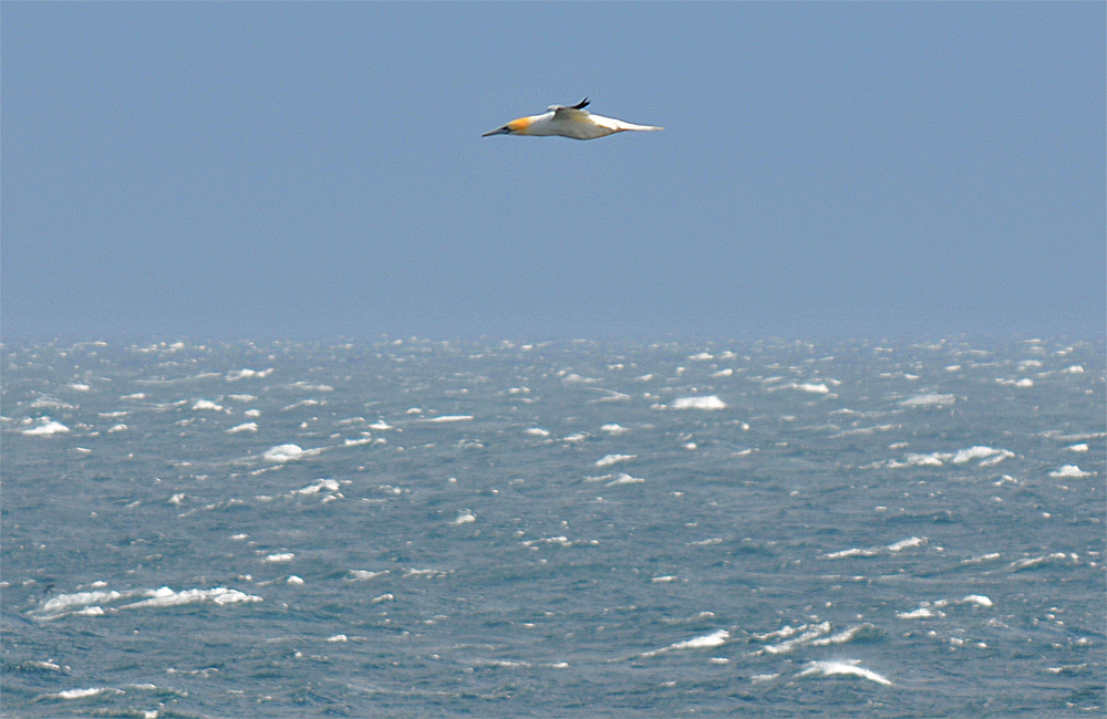 Picture of a Gannet in flight over the sea