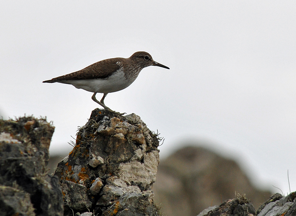 Picture of a Sandpiper (bird) sitting on some rocks