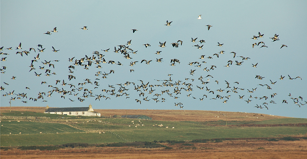 Picture of a large flock of Barnacle Geese in flight, a cottage below