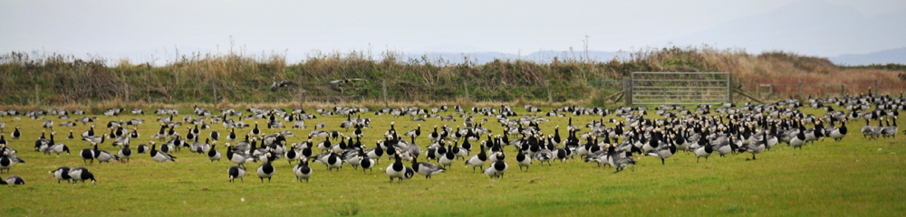 Picture of Barnacle Geese in a field, a low dam behind