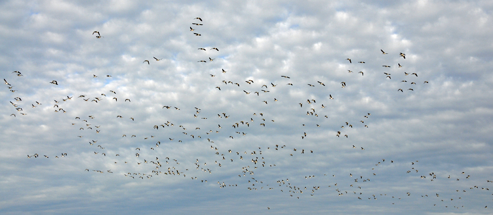 Picture of Barnacle Geese in flight high in a sky with broken clouds