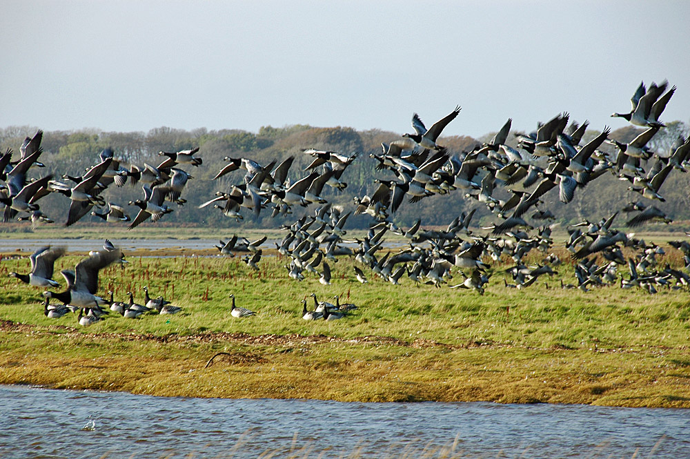 Picture of a flock of Barnacle Geese lifting off on the shore of a sea loch