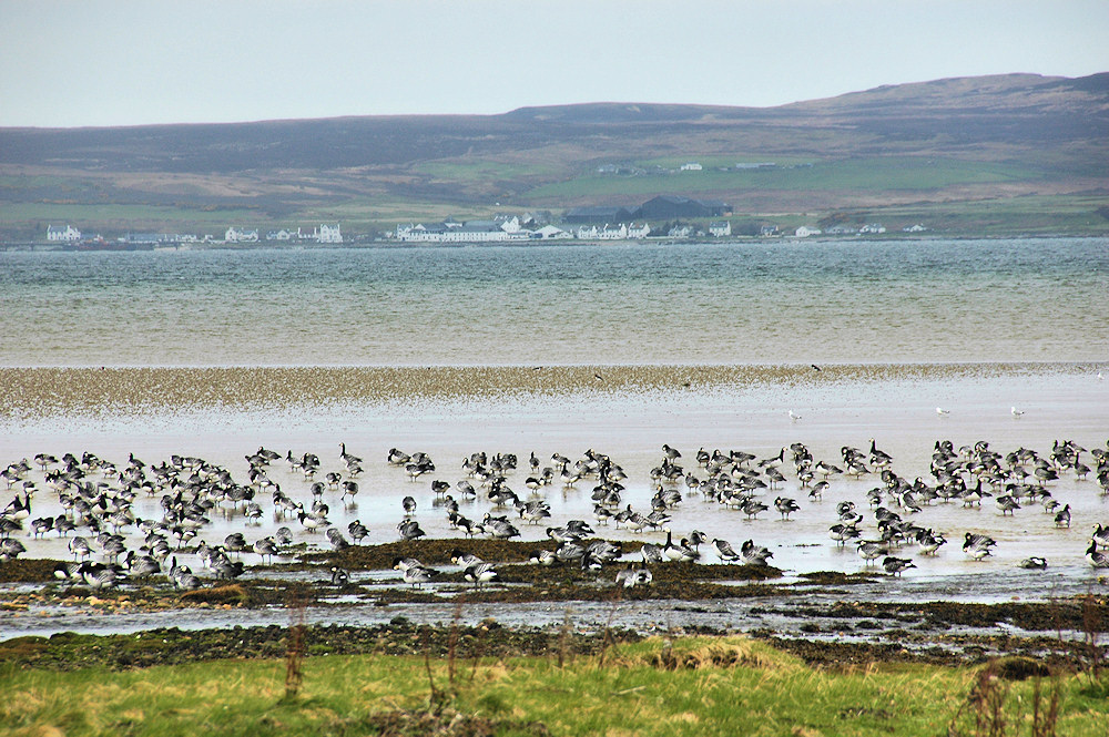 Picture of Barnacle Geese on a shore, a distillery behind in the distance