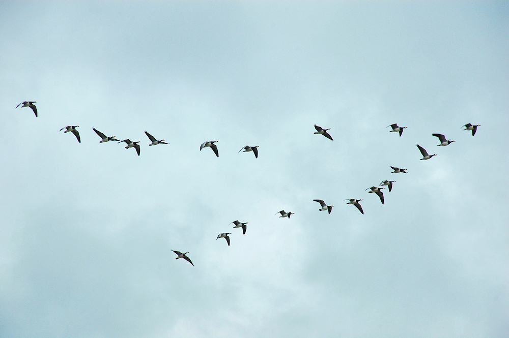 Picture of a group of Barnacle Geese flying in a V formation