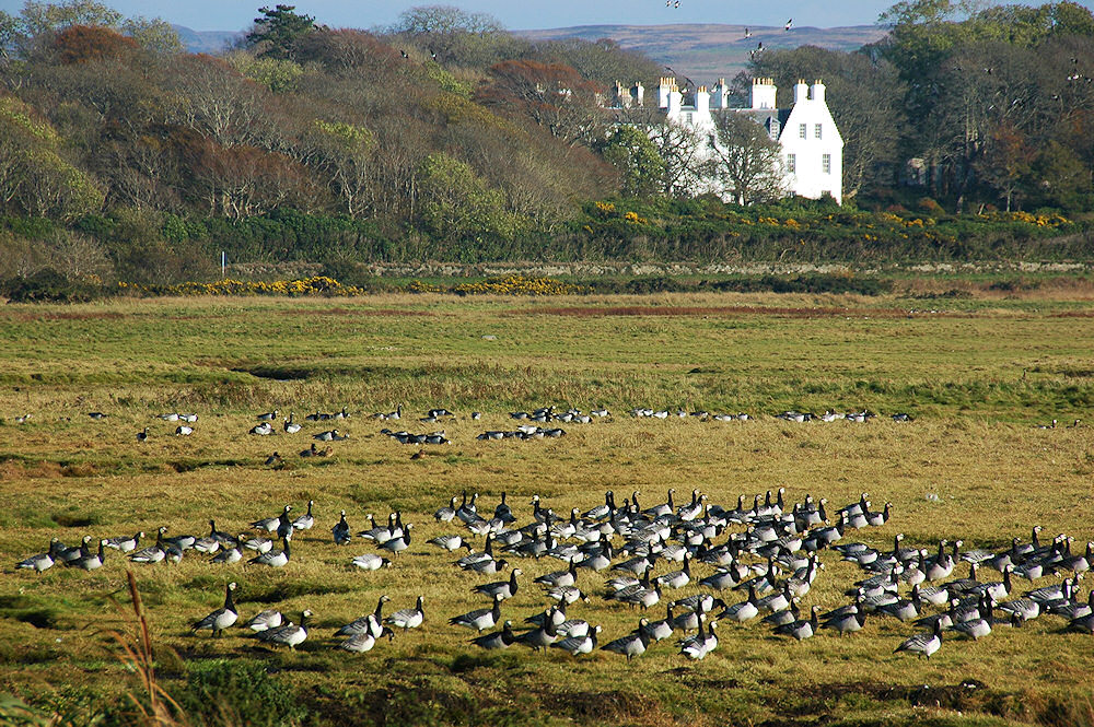Picture of Barnacle Geese in grassland near a large stately home