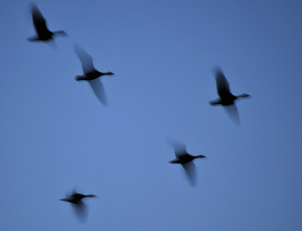 Picture of geese in flight late in the evening