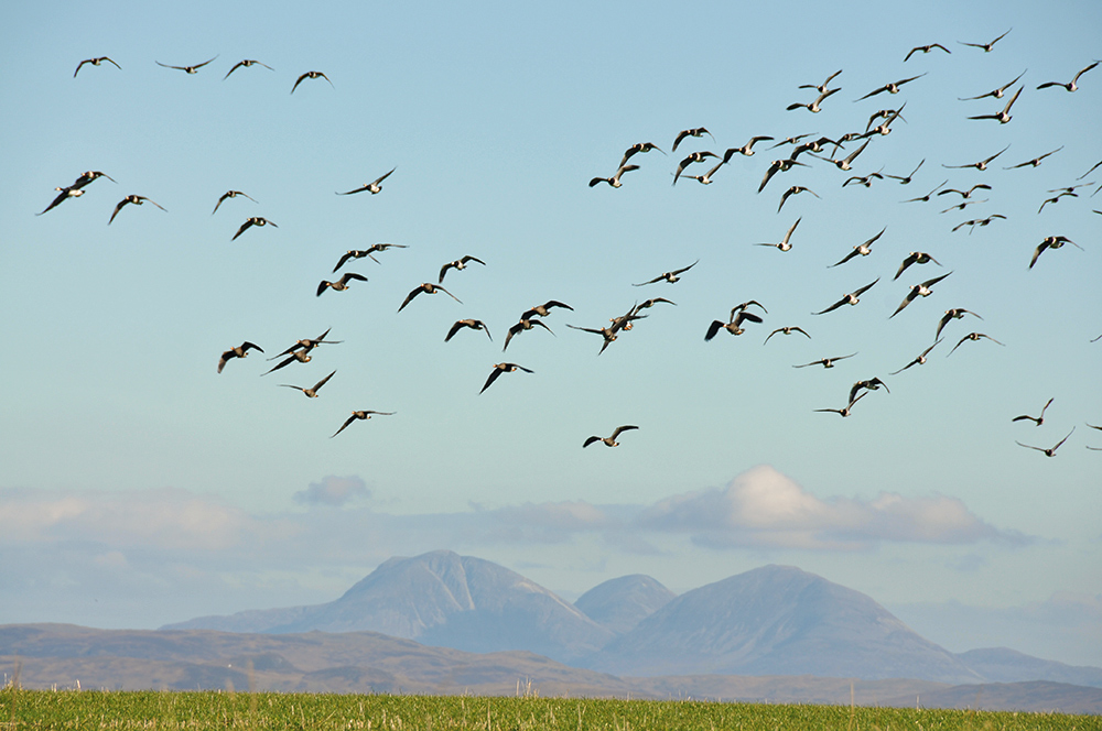 Picture of Barnacle and Whitefront Geese flying over a field, large mountains in the distance