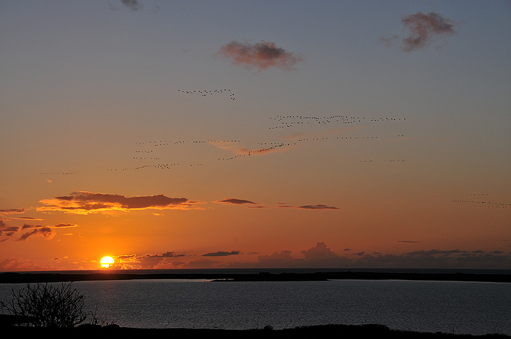 Picture of Barnacle Geese high in the sky on a mostly clear day, flying over a loch at sunset