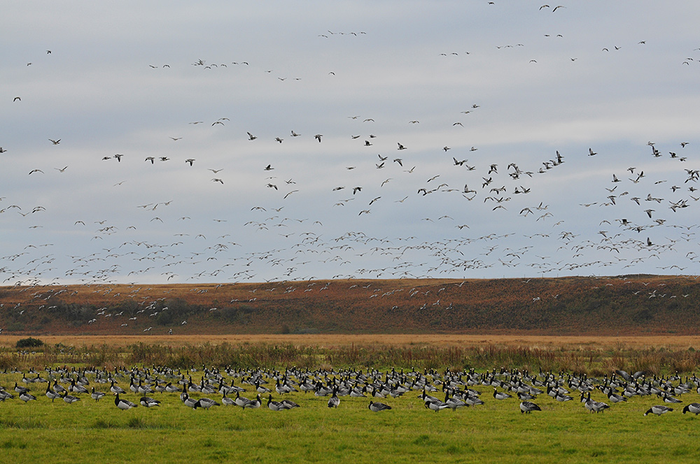 Picture of Barnacle Geese grazing on a field with many more flying above