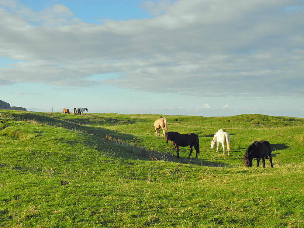 Picture of horses grazing on a machair, mild morning sun illuminating the scene