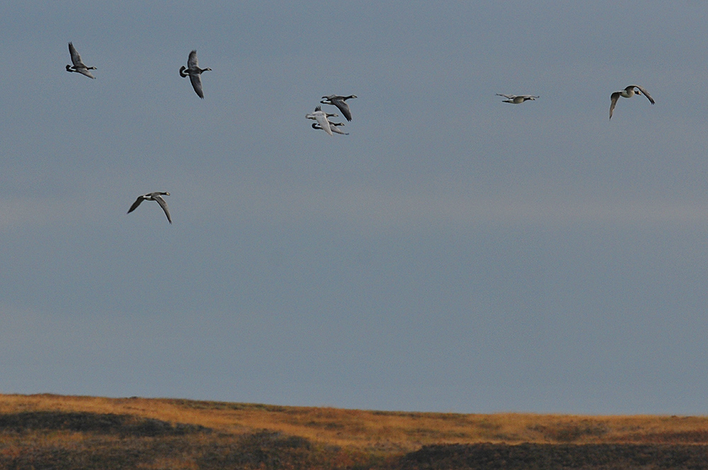 Picture of a few Barnacle Geese in flight, one of them leucistic