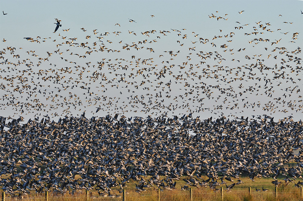 Picture of a huge number of Barnacle Geese lifting off after being spooked