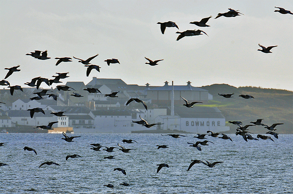 Picture of Barnacle Geese flying over a sea loch, a coastal distillery (Bowmore) in the background