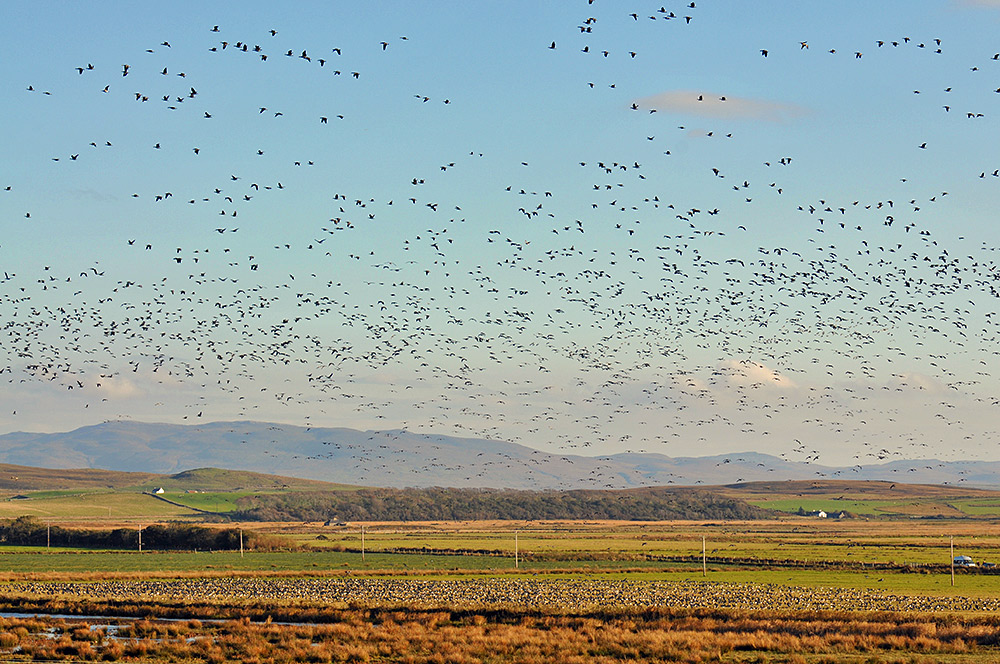 Picture of a nature reserve with thousands of Barnacle Geese both sitting on the ground and flying in the air