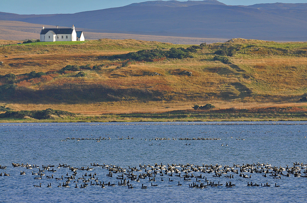 Picture of groups of Barnacle Geese swimming on the water of a sea loch, a cottage on the shore in the background