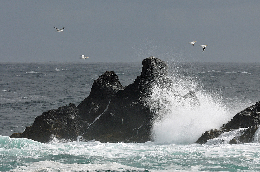 Picture of four Gannets flying over rocks with waves breaking over them