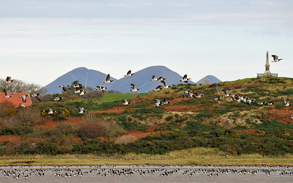 Picture of a view of Barnacle Geese both in flight and on the ground with the background of a coastal landscape with high mountains in the distance