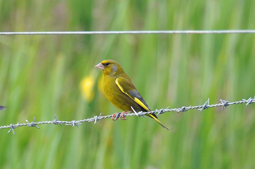 Picture of a Greenfinch sitting on some barbed wire from a fence