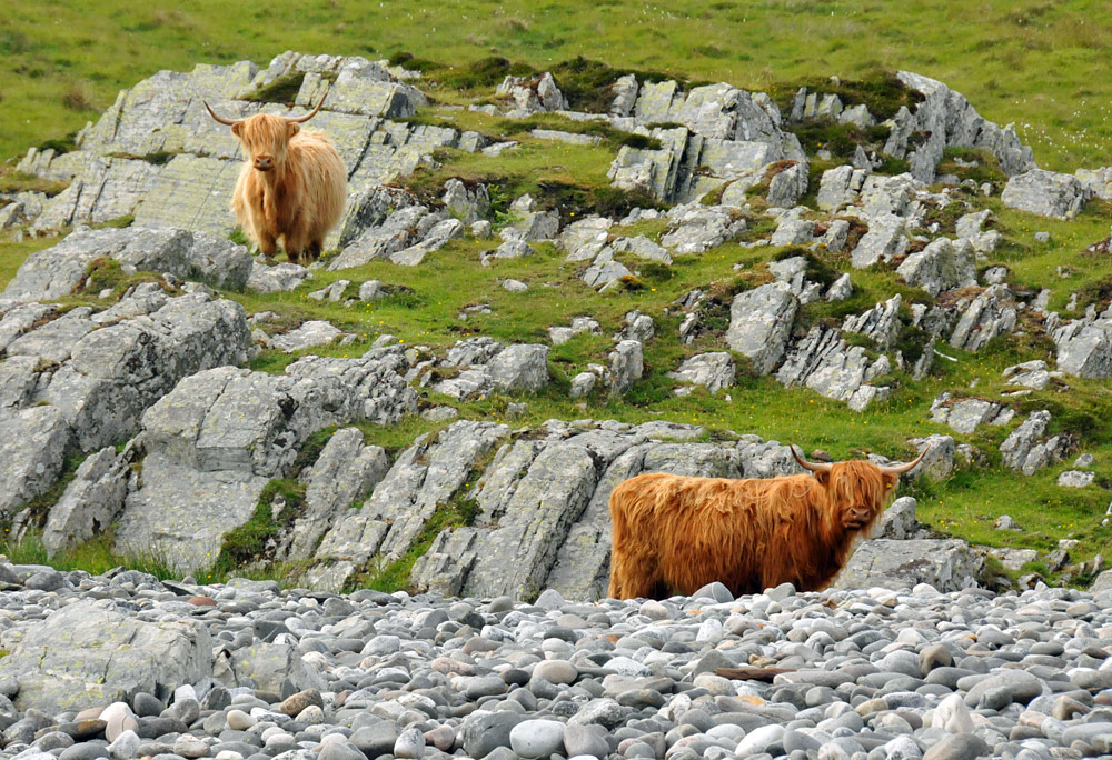 Picture of two Highland Cattle in a rugged rocky landscape