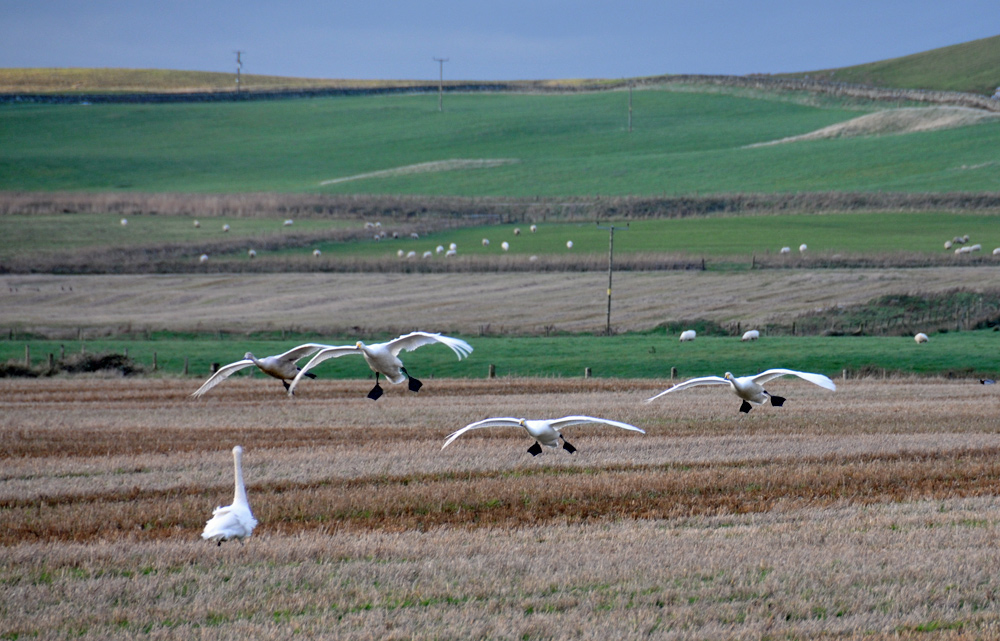 Picture of 4 Whooper Swans landing in a field, joining a 5th