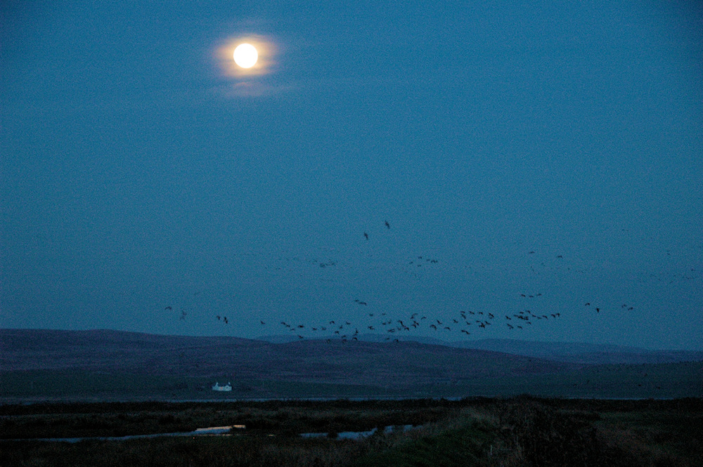 Picture of Barnacle Geese arriving at their roost under a full Moon