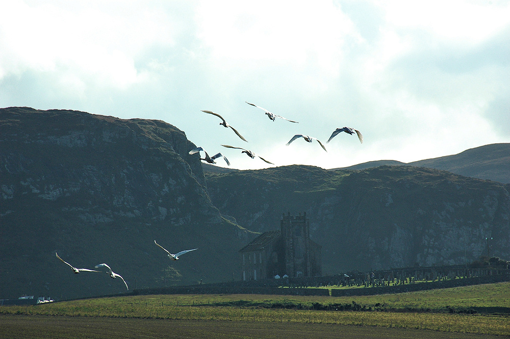 Picture of 9 Whooper Swans in flight near an old church ruin