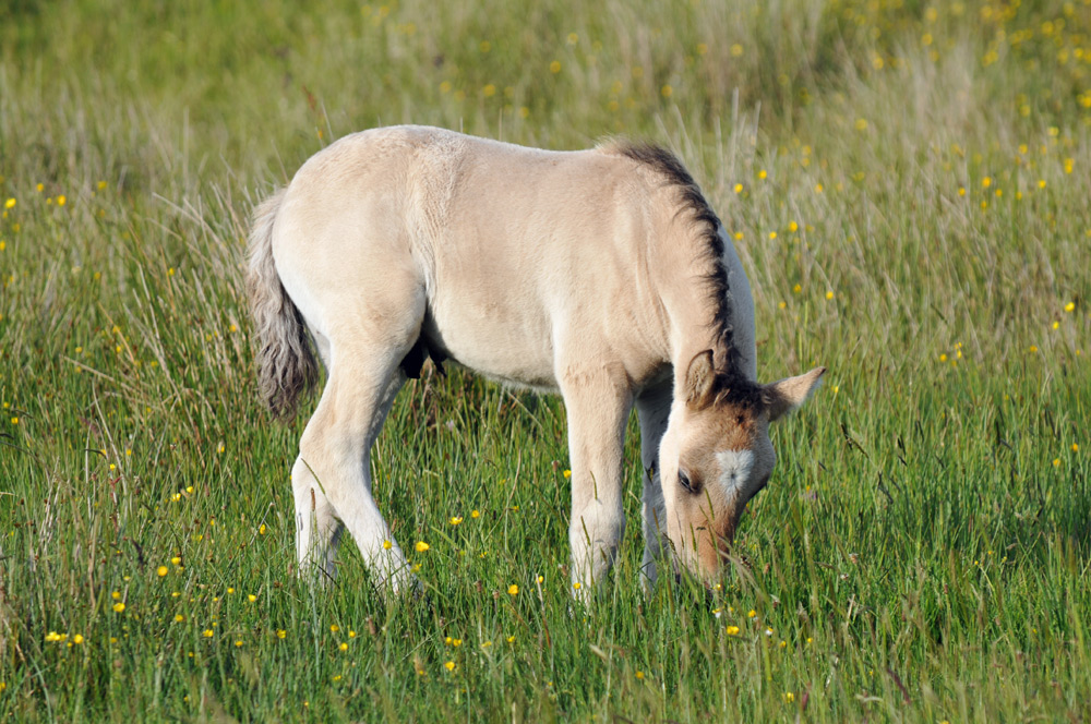Picture of a young pony grazing in high grass