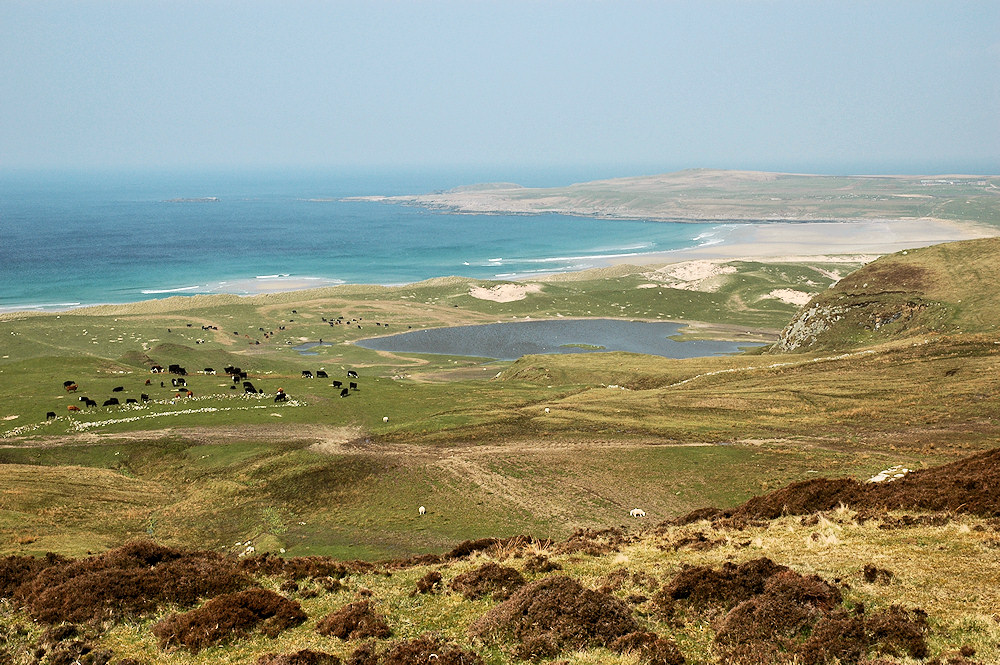 Picture of cattle grazing in the machair behind dunes at a wide bay with a beach