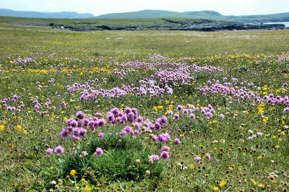 Picture of a machair with many flowers close to a shore