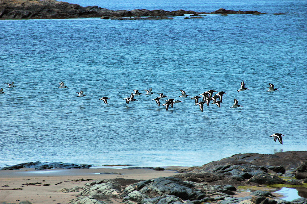 Picture of a flock of Oystercatchers flying along a shore with a mixture of rocks and sand
