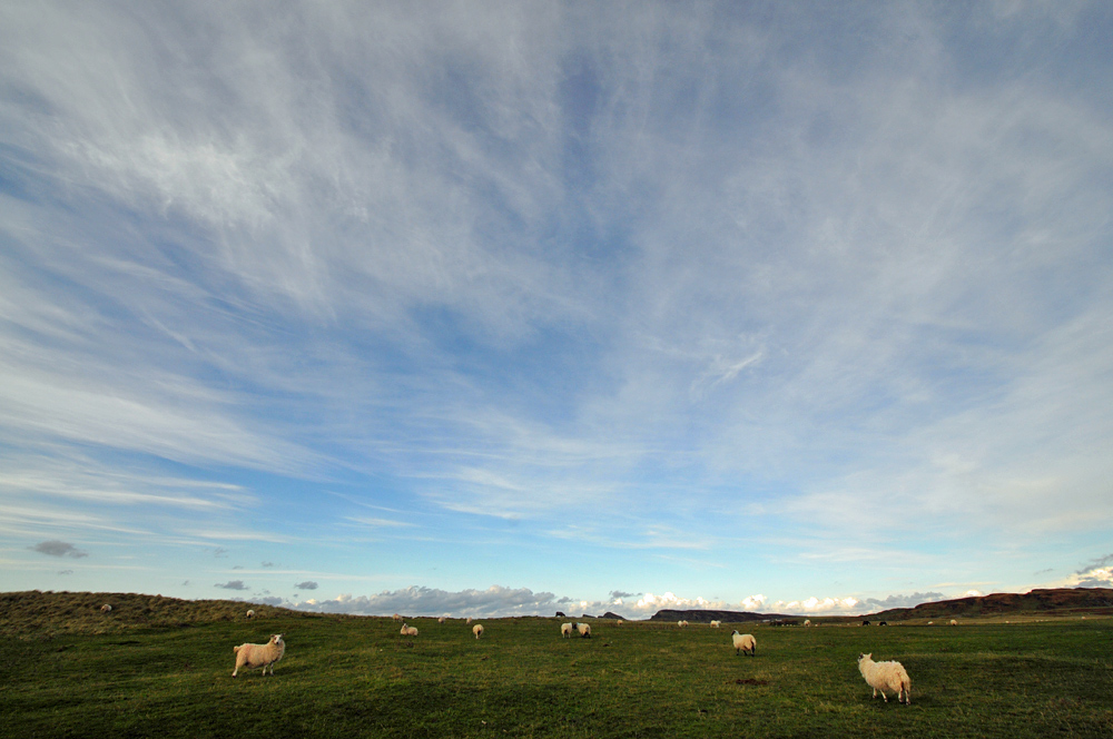 Picture of sheep in dunes under a big sky with light clouds