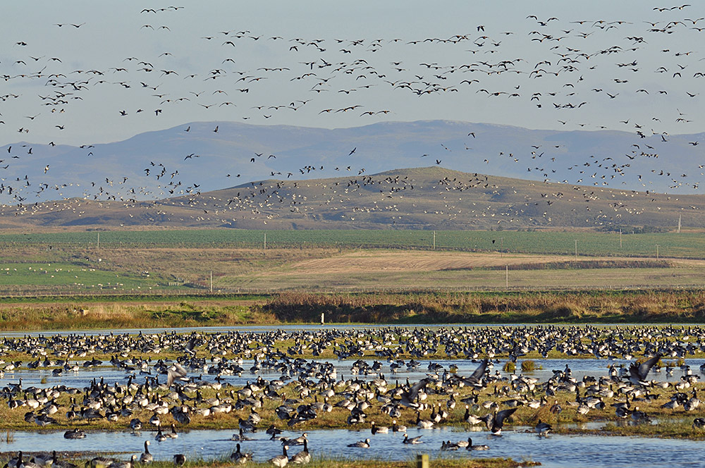 Picture of Barnacle Geese resting on wetlands, many more in the air behind them