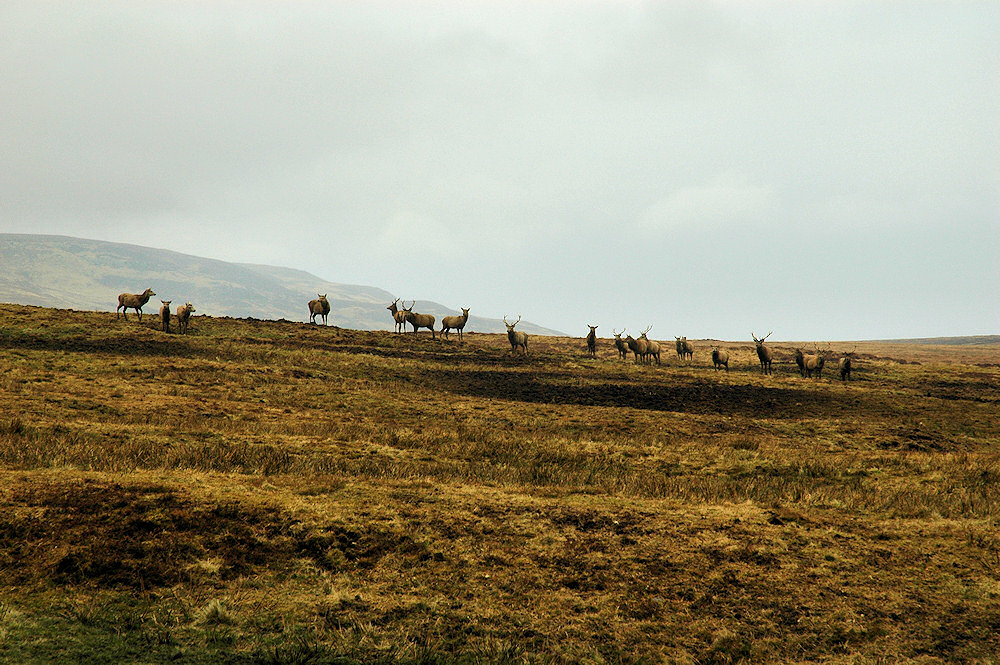 Picture of a herd of 20 deer on a hill in grey and cloudy weather