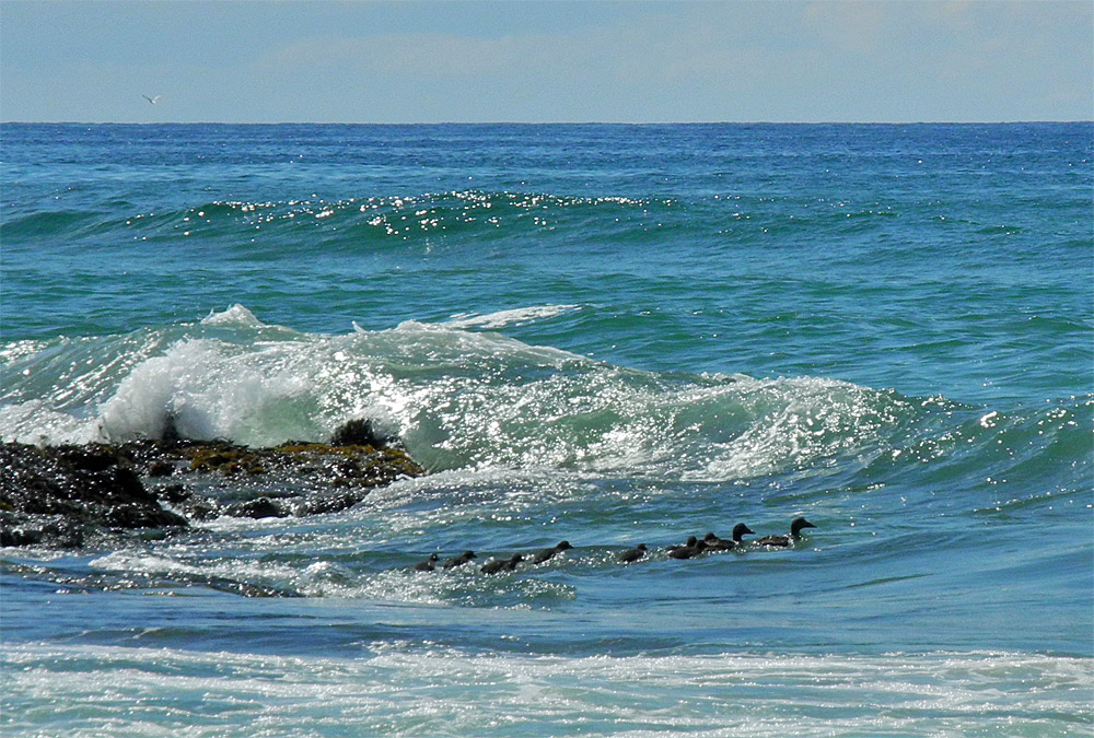 Picture of a duck family (two adults with seven young) in the surf