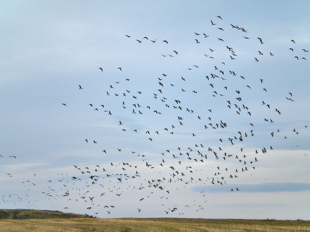 Picture of a large number of Barnacle Geese lifting off from a field