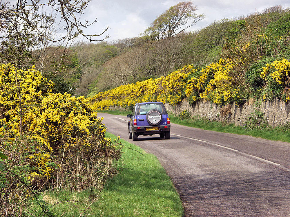 Picture of a road with Gorse in bloom along the road
