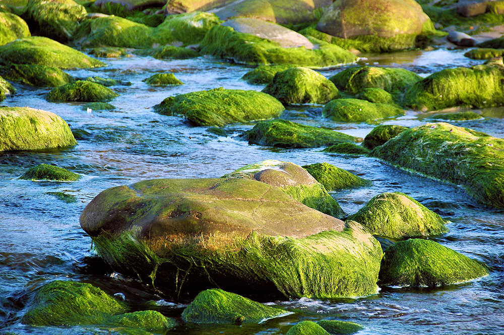 Picture of rocks in a burn, overgrown with seaweed making them look green