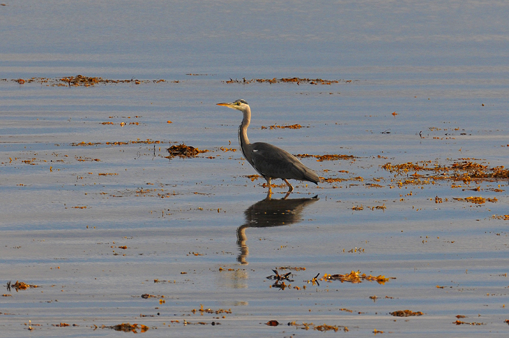 Picture of a Heron wading in the shallow water near the shore of a sea loch