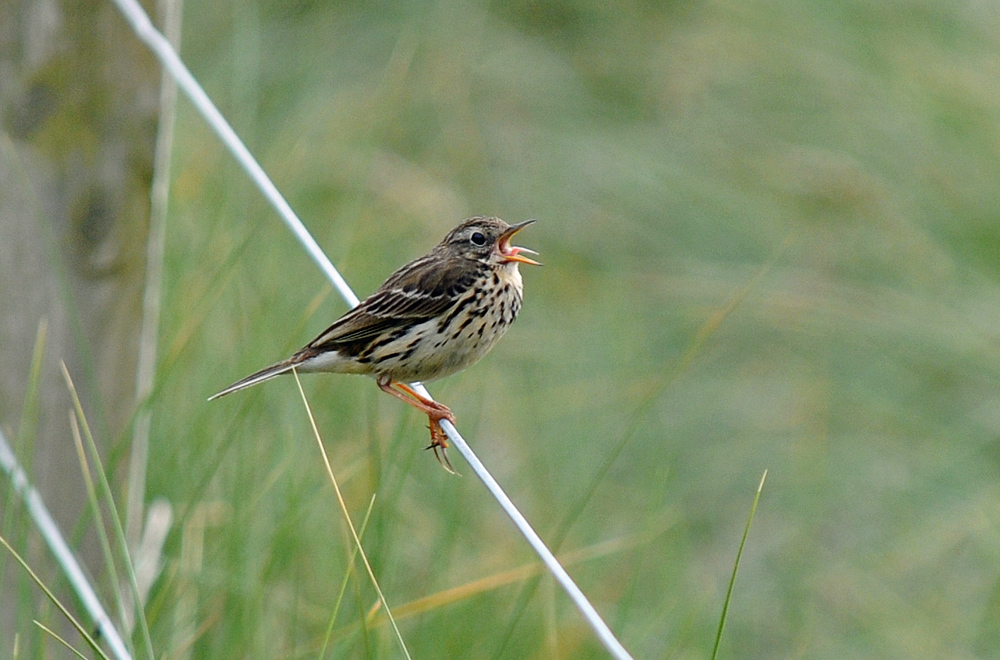 Picture of a Meadow Pipit on a fence, calling loudly