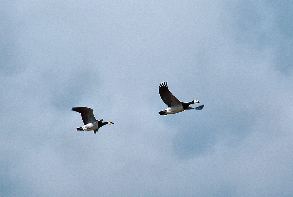 Picture of two Barnacle Geese in flight, one following the other