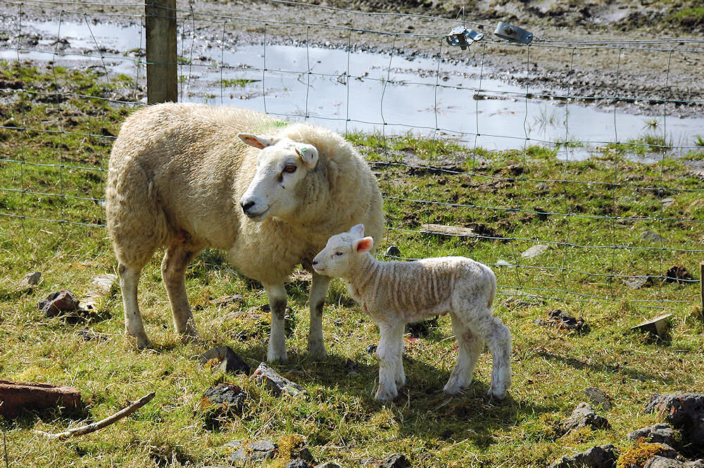 Picture of a very young lamb with its mother