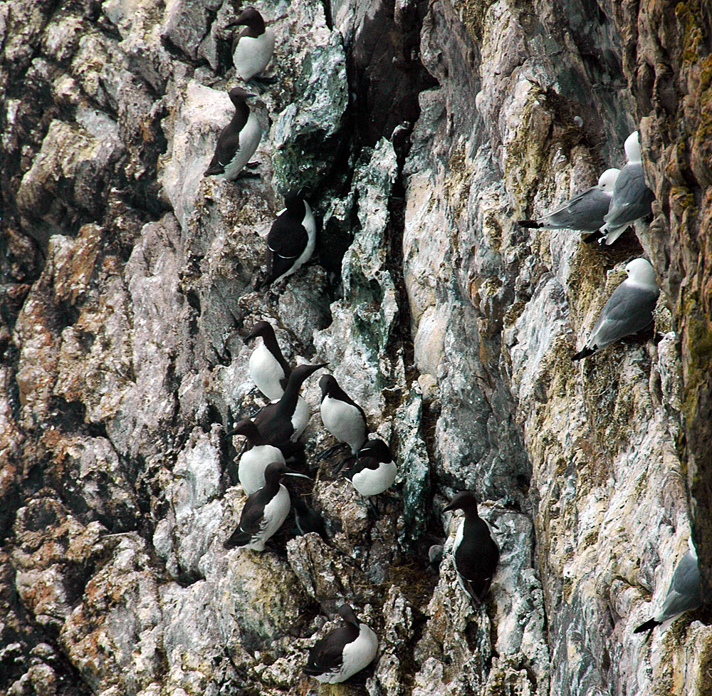 Picture of a number of Guillemots and Kittiwakes sitting on a cliff face