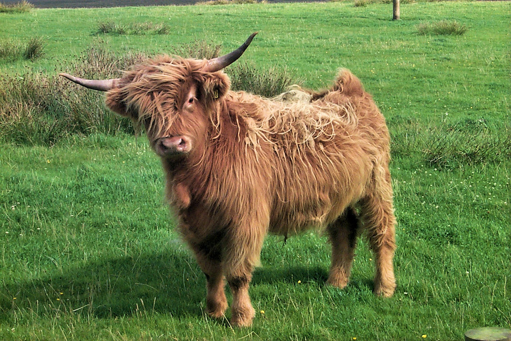 Picture of a Highland cow looking at the photographer