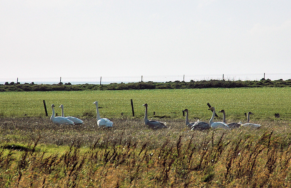Picture of 8 Whooper Swans in a field