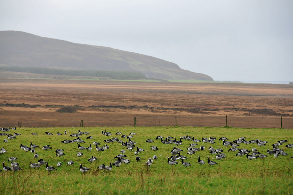 Picture of Barnacle Geese in a field on a grey overcast day