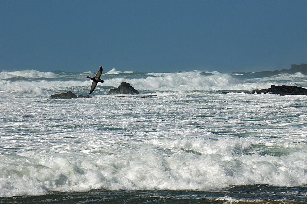 Picture of a Duck flying across a bay with breaking waves